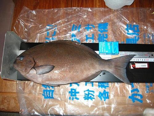 柏島の尾長グレ(茶色)55cmオーバーの写真